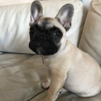 Palou, bouledogue français 3 mois