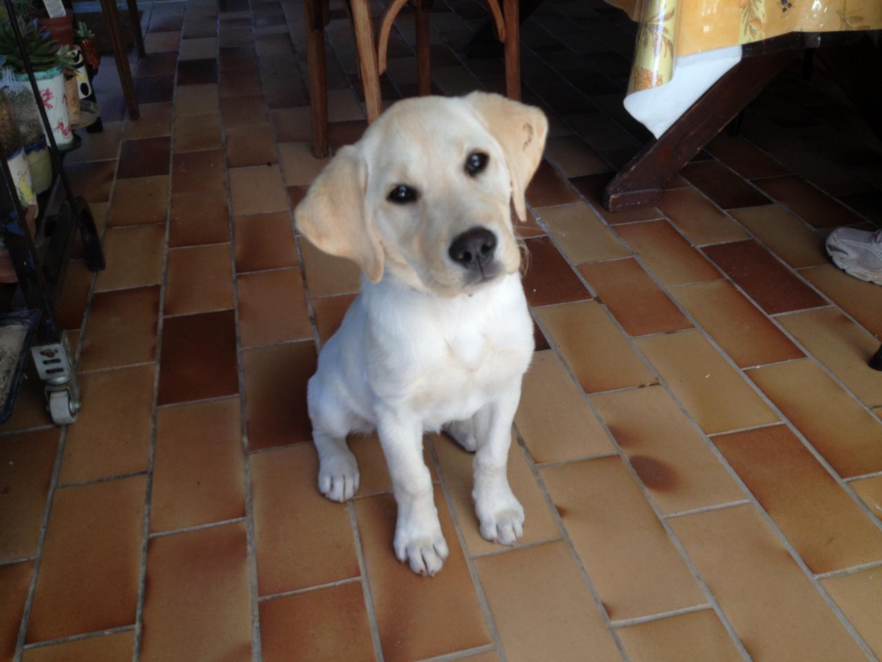 Metoo, labrador de 3 mois