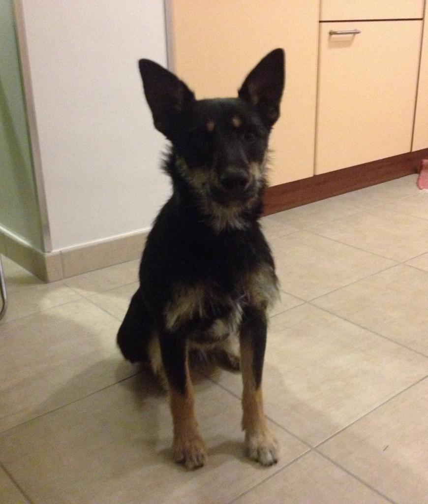 Jack, croisé griffon terrier de 1 an