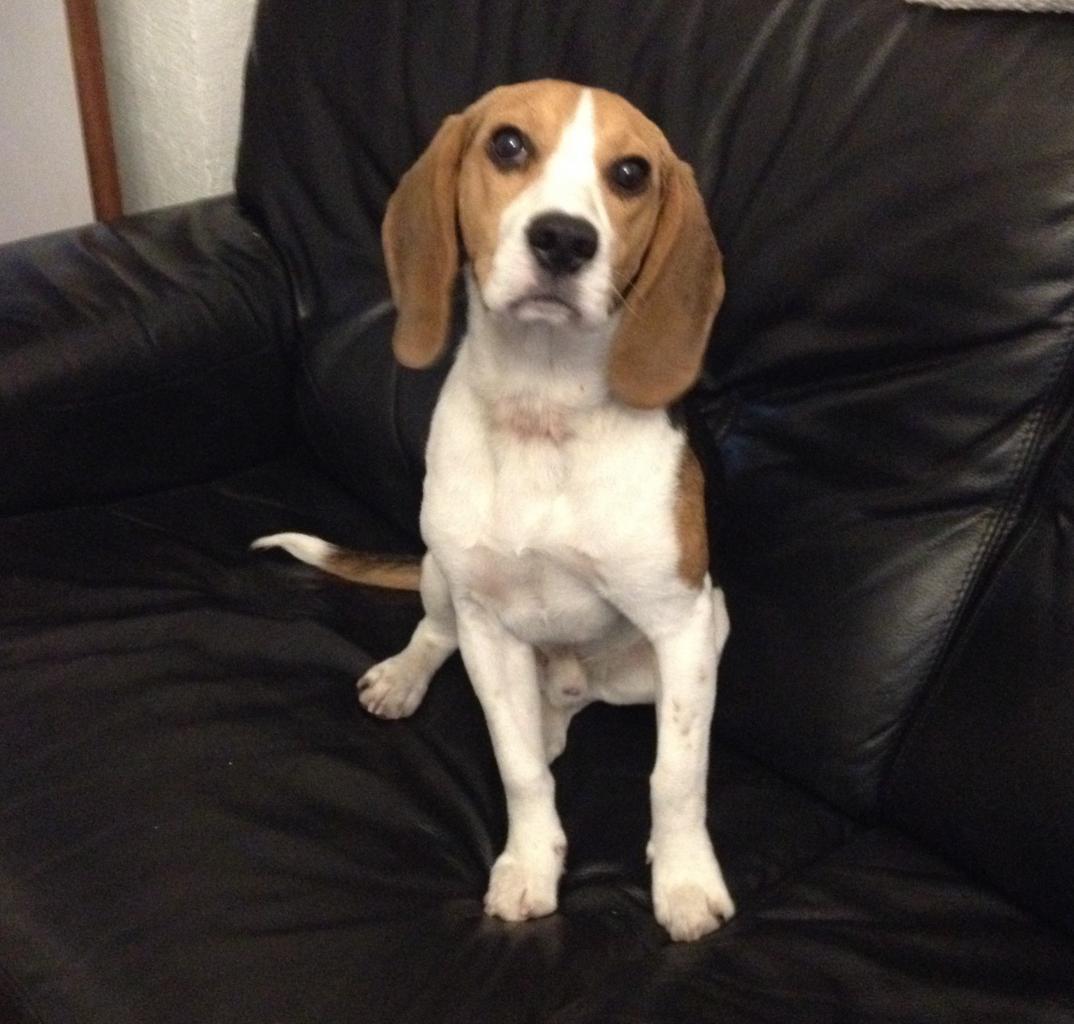 Saxo, beagle de 8 mois