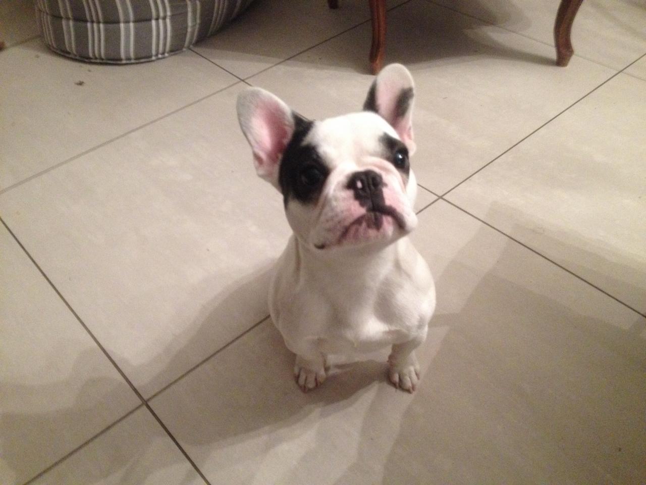 Mia, bouledogue français de 8 mois