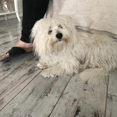 Paco, Coton de Tuléar de 9 mois