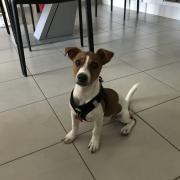 Léa, jack russel de 4 mois