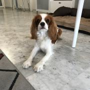 Paco, cavalier king charles de 11 mois