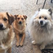 Maya, Patou et Milo croisé spitz et spitz de 4 et 6 ans