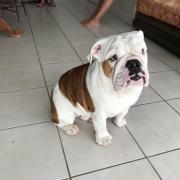 Luis, bouledogue anglais de 7 mois