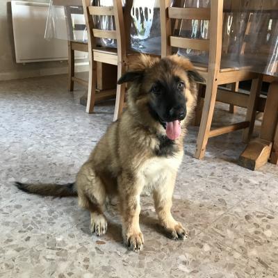 Ruby, berger allemand de 2 mois