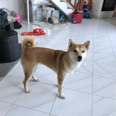 Yuna, shiba inu de 18 mois