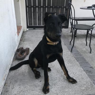 Rufus, beauceron de 6 mois