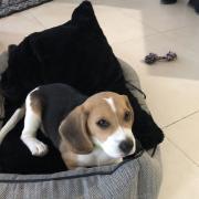 chelby, beagle de 2 mois