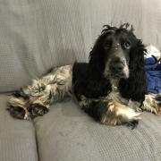 Rouky, cocker de 1 an