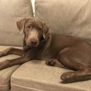 Bobby, labrador silver de 6 mois