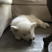 Ruby, berger suisse de 2 mois