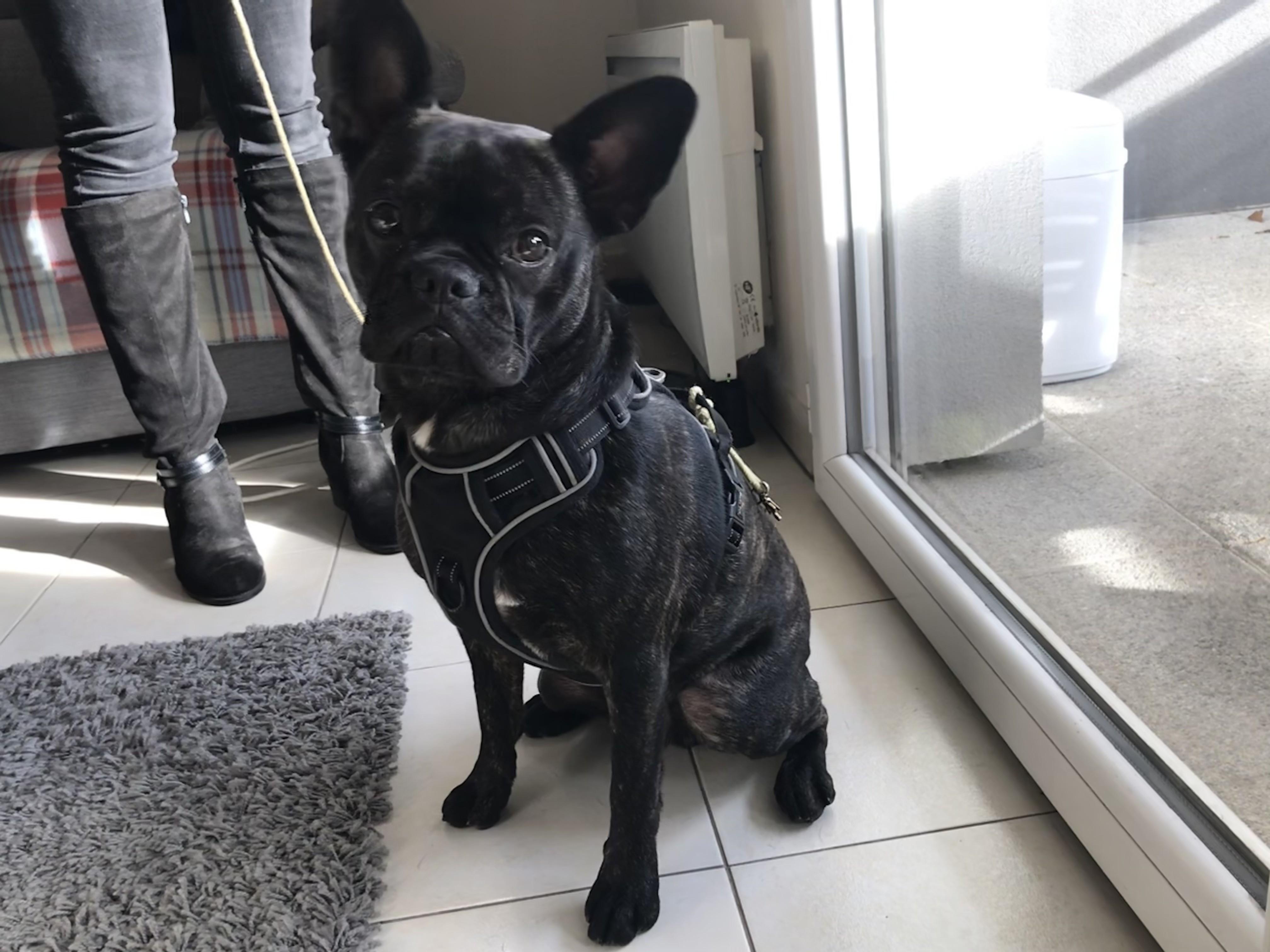 Onyx, bouledogue français de 1 an