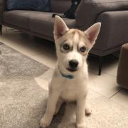 Roky, husky de 2 mois