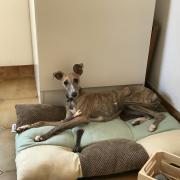 Lola, whippet de 6 mois