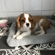 Willow, cavalier king charles de 3 mois