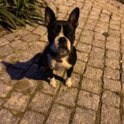 Kim, boston terrier de 8 mois