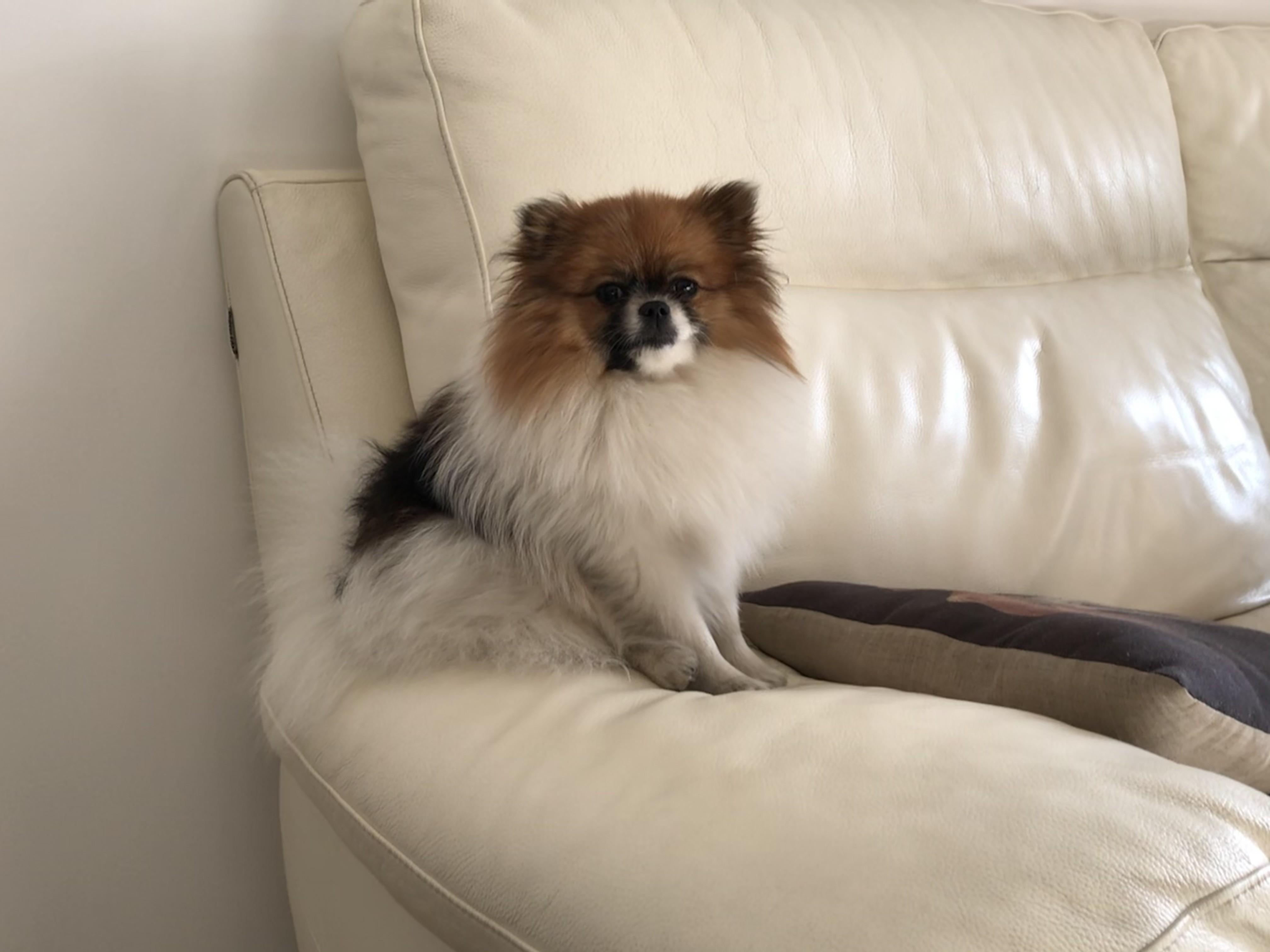 Roxy, Spitz nain de 9 mois