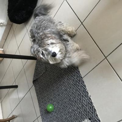 Cachou, croisé bichon de 11 mois