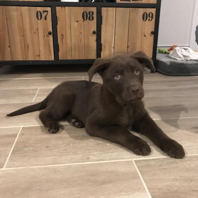 Merlin, croisé labrador de 2 mois