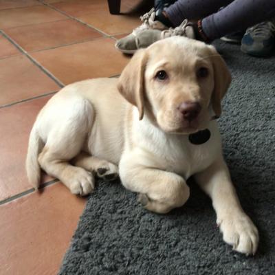Rubie, labrador de 2 mois