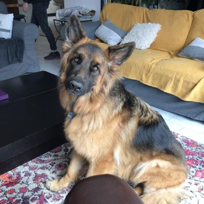 Pearl, berger allemand 2 ans
