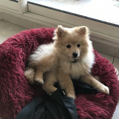 Roy, spitz allemand de 3 mois