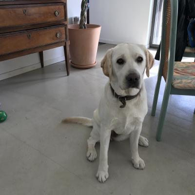 Charlie, labrador de 1 an 1/2