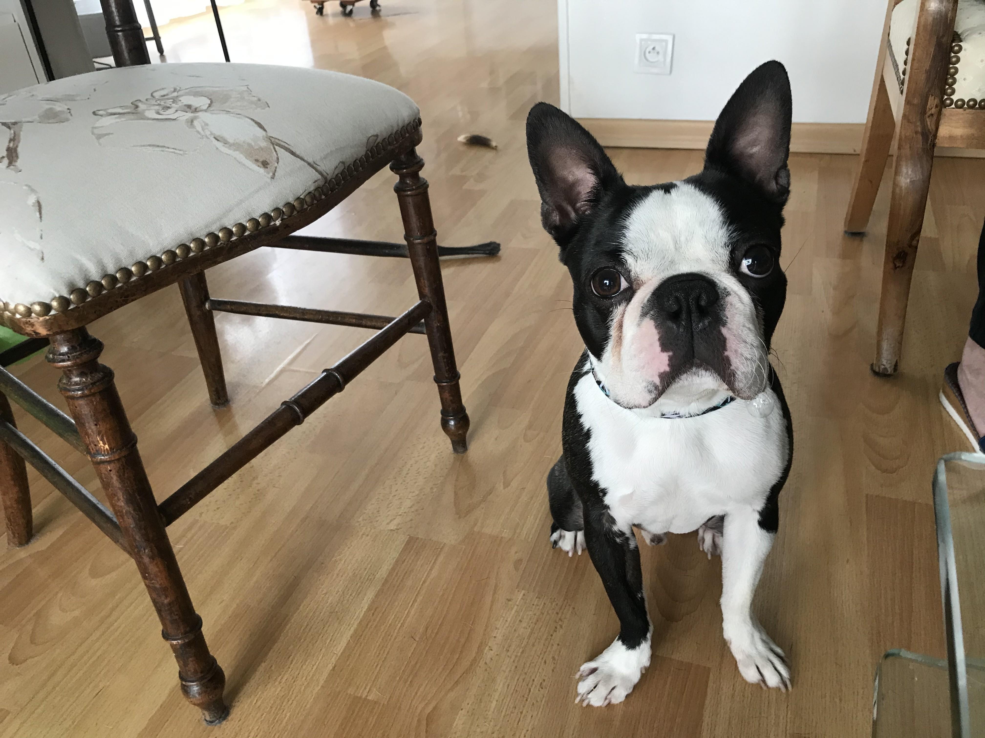 Petrus, Boston terrier de 18 mois