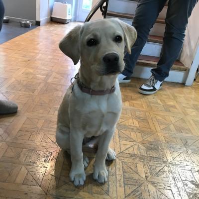 Rejjie, labrador de 4 mois