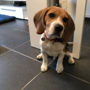 Rox, beagle 4 mois