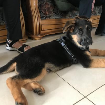 Shado, berger allemand 2 mois