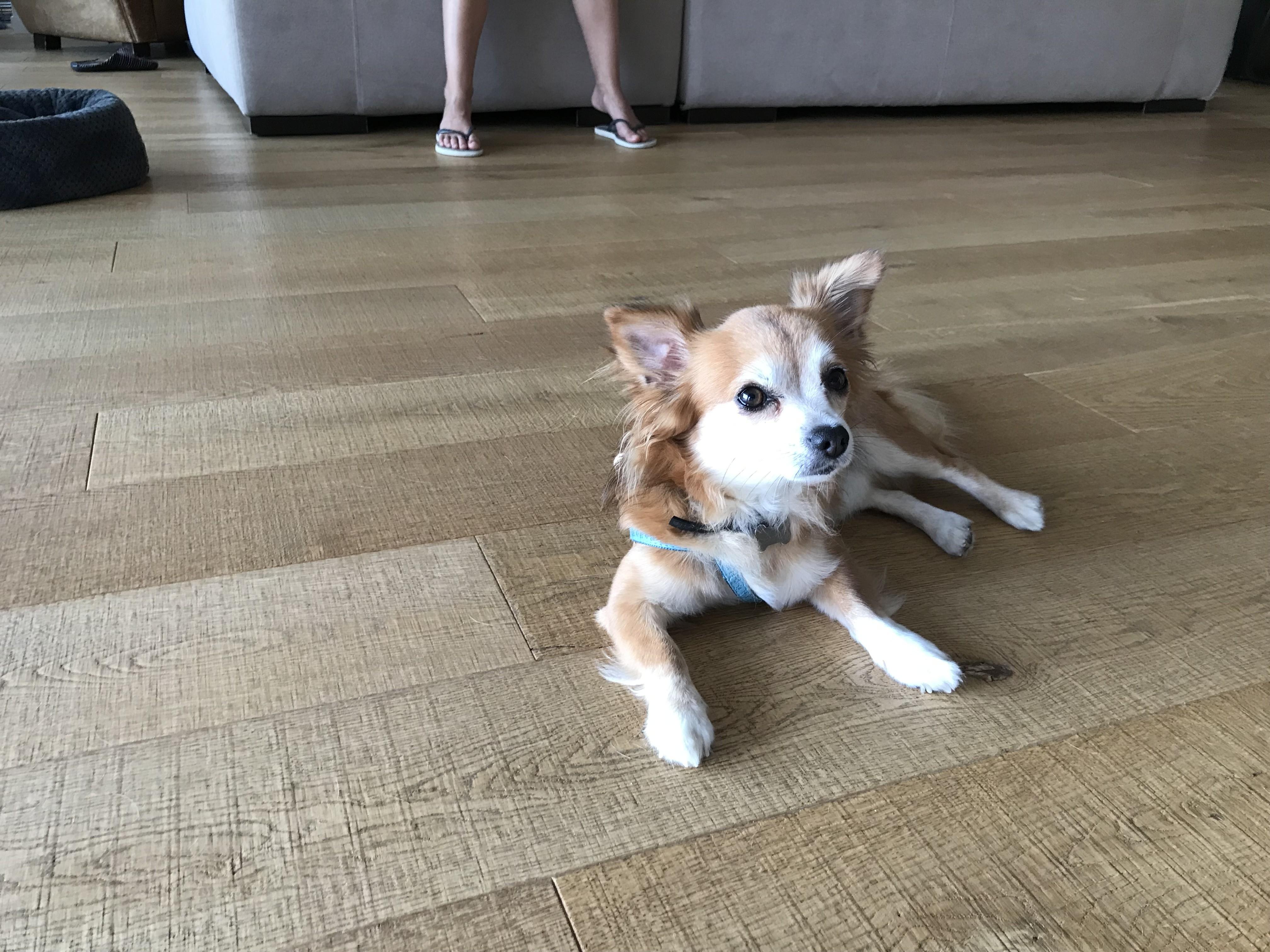 Mocky, chihuahua de 5 ans