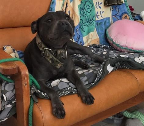 Nola, staffie de 2 ans