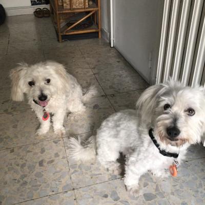 Max  & Moustic coton de tuléar de 5 ans