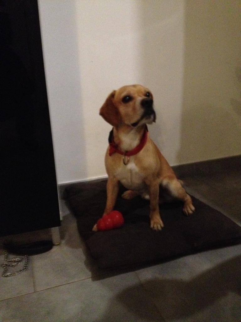 whisky, croisé labrador & beagle 6 ans