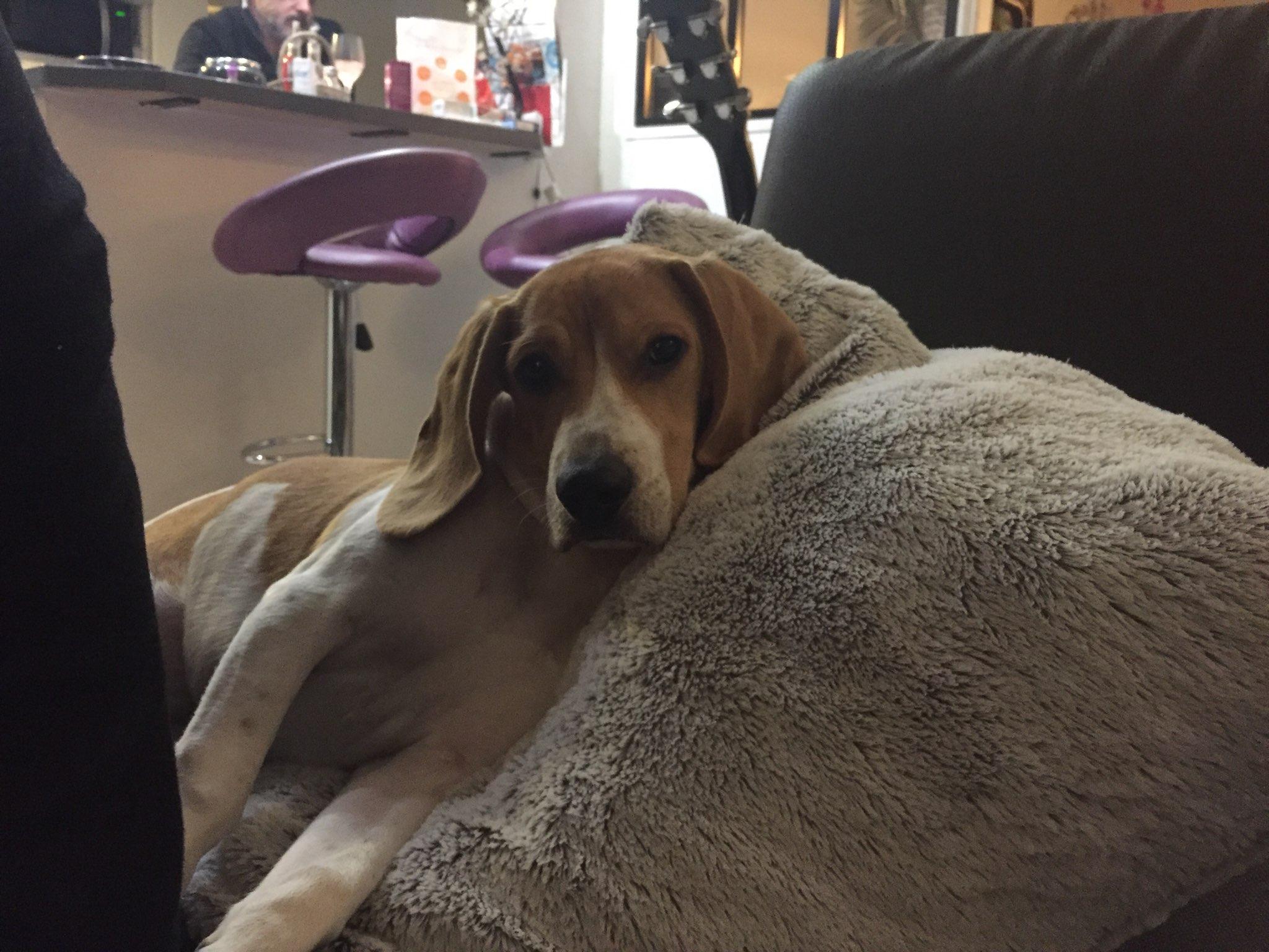 Tokyo, croisé beagle de 6 mois