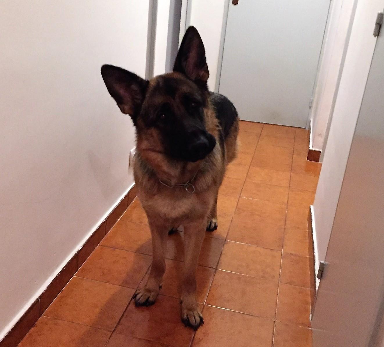 Malko, berger allemand de 15 mois