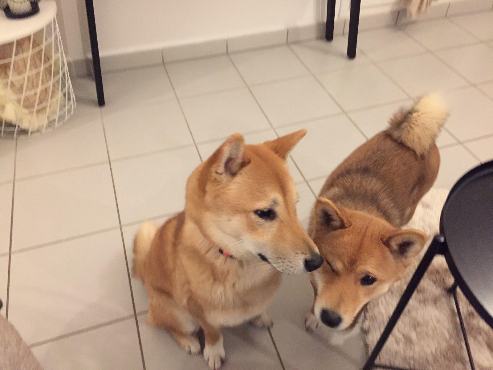 Nala & Nooki, shiba inu de 15 mois et 1 an