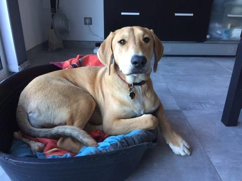 Opale, croisé labrador de 11 mois