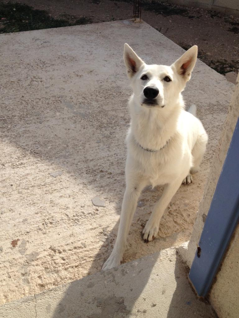 Jazz, berger blanc suisse de 1 an 1/2