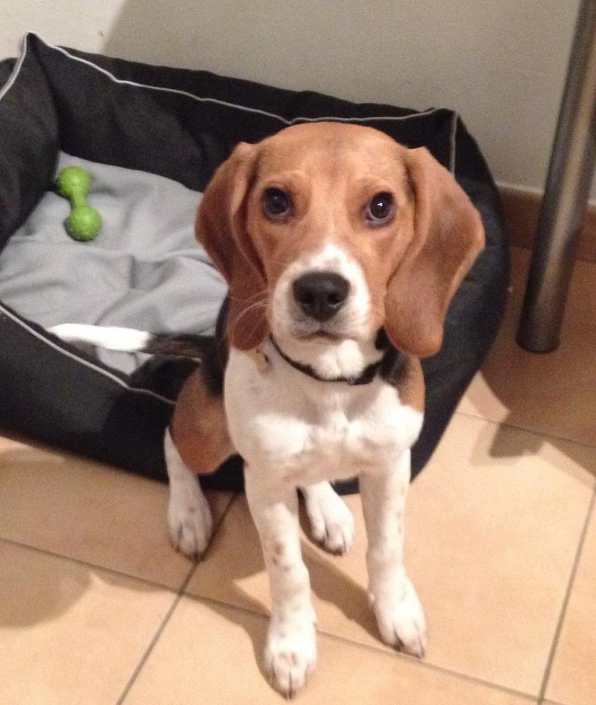 Icy, beagle de 6mois
