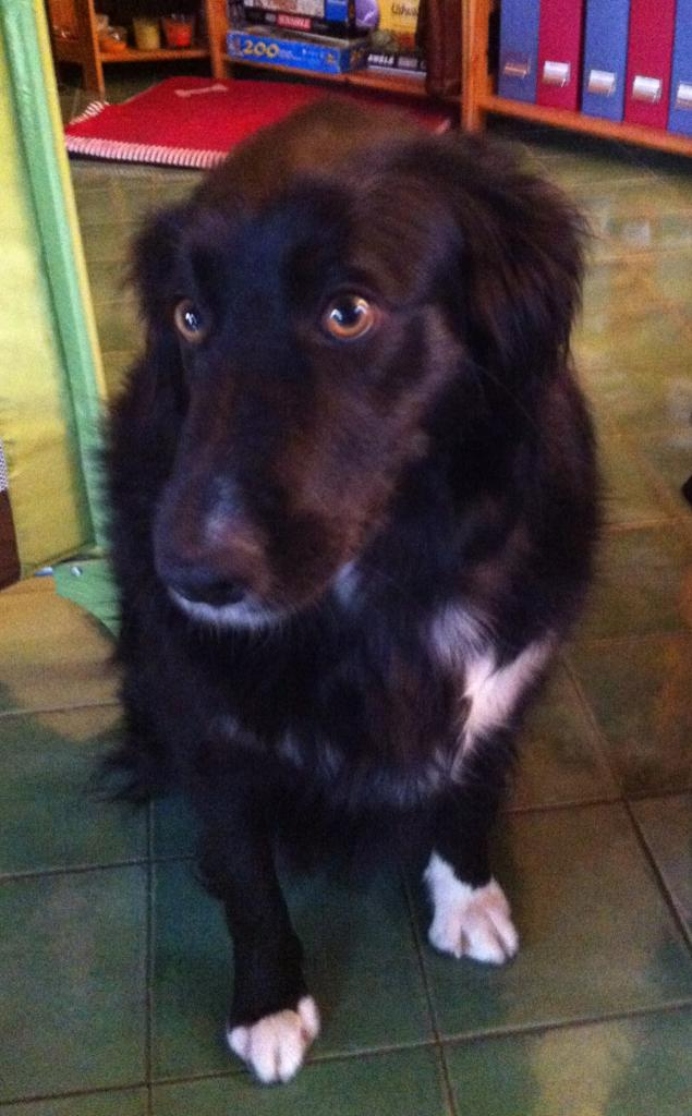 lili, 2 ans croisé berger & border collie