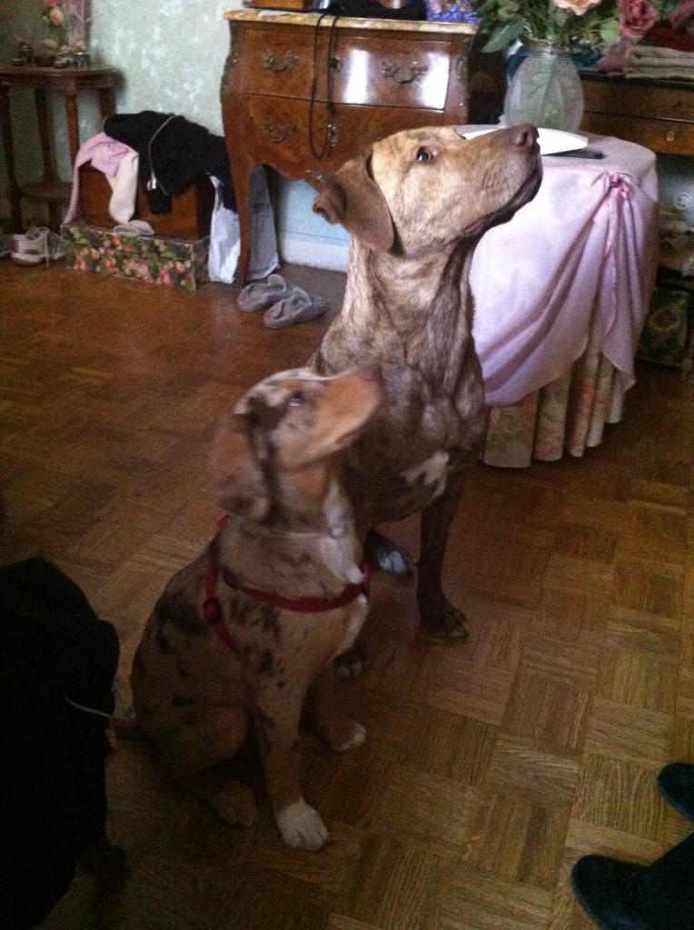 Twist, corsinou de 18 mois et Hyoni croisé berger australien et braque