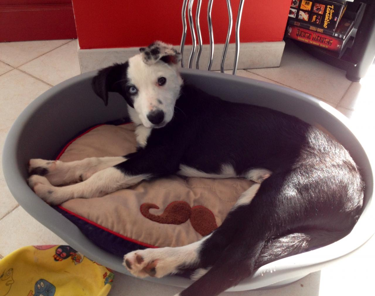 Bolt, border collie de 3 mois 1/2