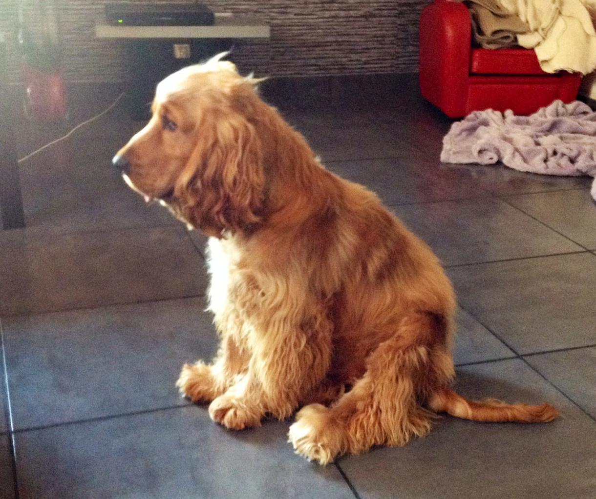 Hudson, cocker anglais de 10 mois
