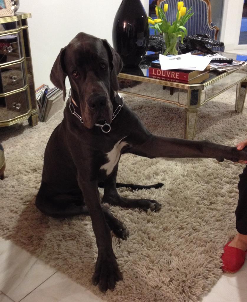 Isaac, dogue allemand de 7 mois