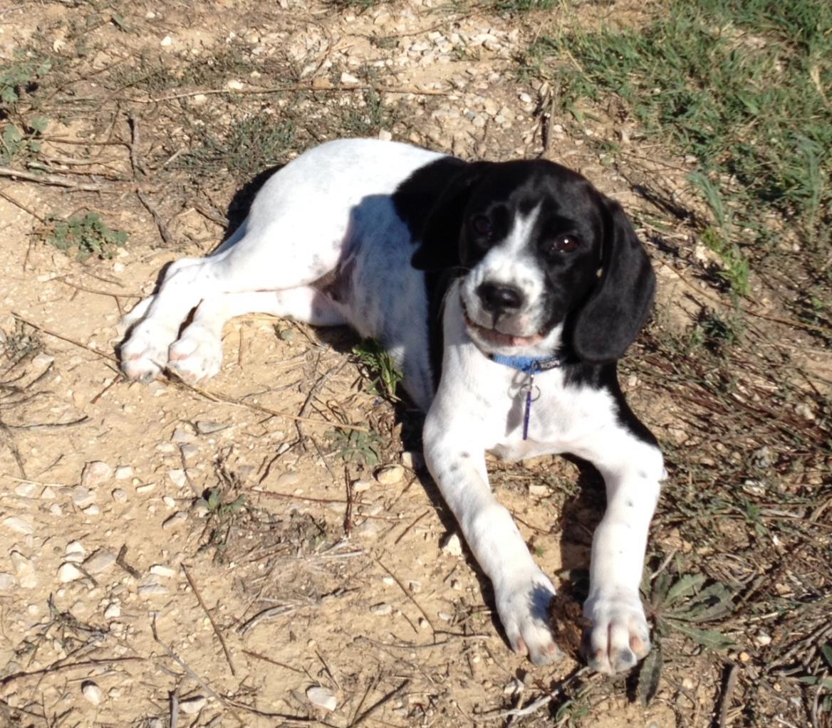 Lou, croisé beagle et épagneul de 3 mois