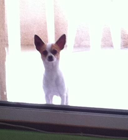 tom, chihuahua de 11 mois